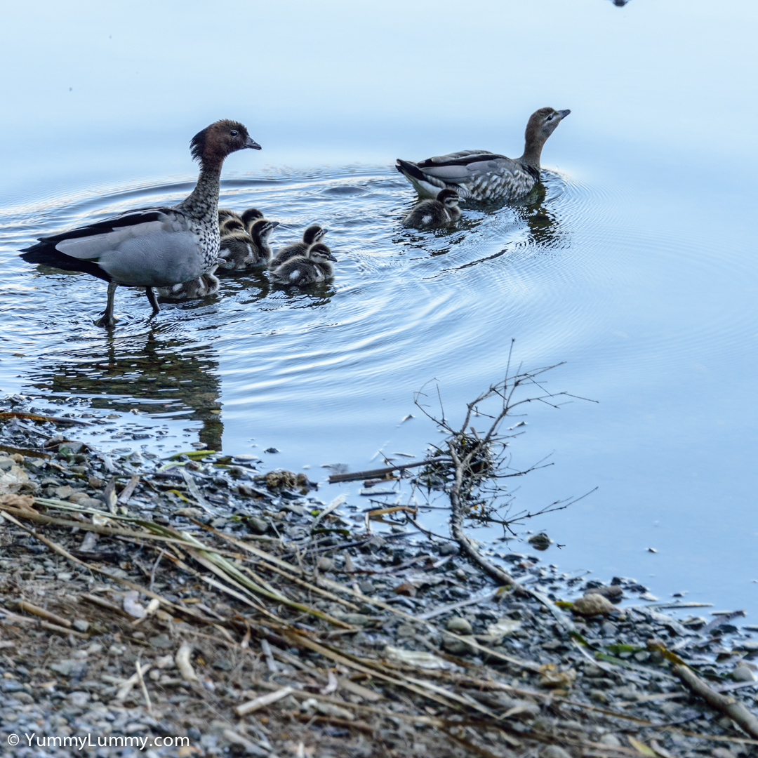 Taking the kids out for an early morning swim in Lake Ginninderra  NIKON D810 with 28.0-300.0 mm f/3.5-5.6 at 125mm and f/5.6, 1/250sec, ISO 400
