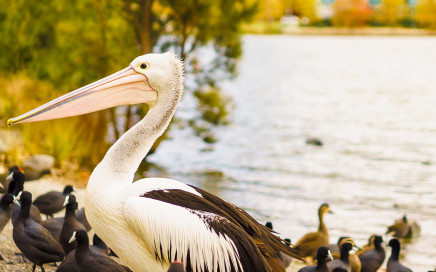 A pelican by Lake Ginninderra | SONY ILCE-7S with FE 55mm F1.8 ZA at 55mm and f/2, 1/1500sec, ISO 100