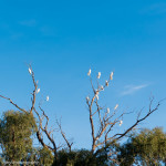 Cockatoos in the trees on Lake Ginninderra