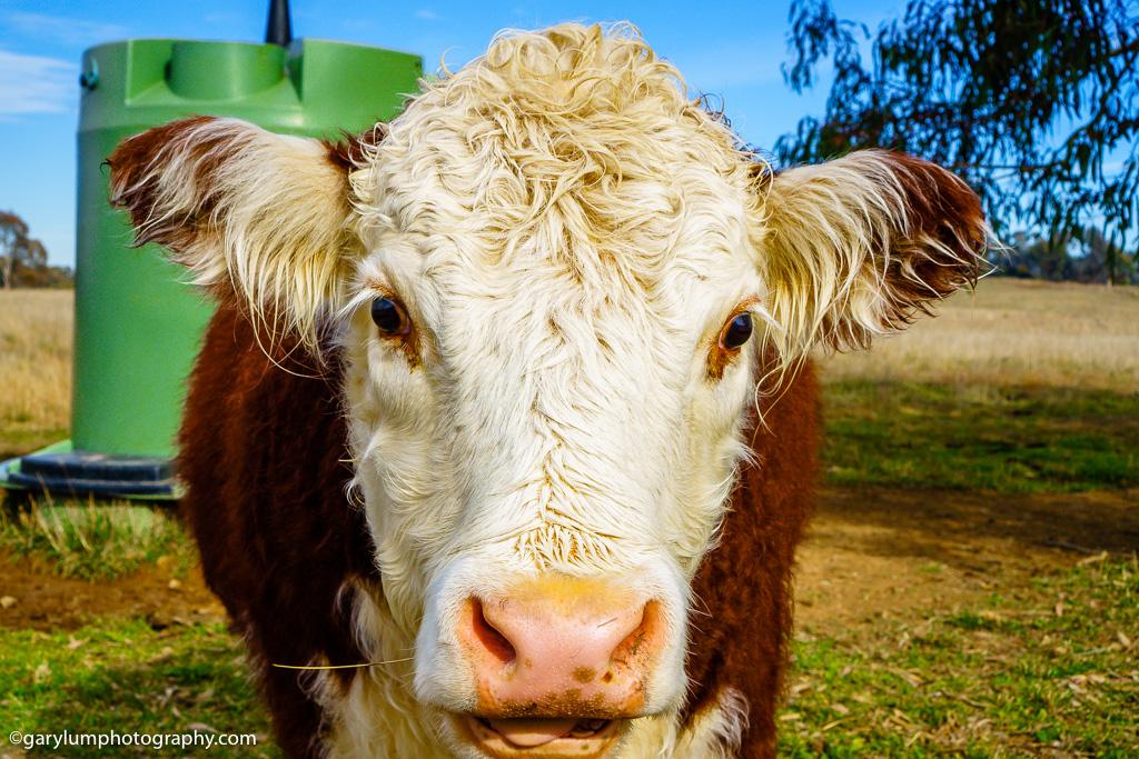 Cow near Lake Ginninderra